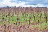 View on vineyard on Vosges slope at sunset — Stock Photo