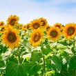 Sunflower field in Alsace, France - Stock Photo