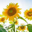 Sunflower field in Alsace, France — Stock Photo #8966448