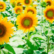 Sunflower field in Alsace, France — Stock Photo
