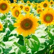 Sunflower field in Alsace, France — Stock Photo #8966464