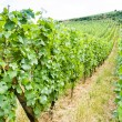 Vine beds at vineyard in Alsace, France — Stock Photo