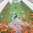 Autumn sycamore leafs in pool — 图库照片 #8966596