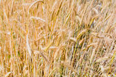 Yellow rye ears close up in field — Stock Photo