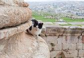 Cat in ruin of f ancient city Jerash — Stock Photo