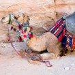 Bedouin camel - Stock Photo