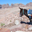 Bedouin donkey in stone dessert of Petra — Stock Photo