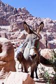 Ruins of ancient city Petra and donkey — Stock Photo