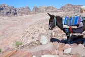 Bedouin donkey in stone dessert of Petra — Stock Photo