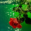Red Rose on a water - Stock Photo