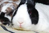 Rabbit looking at camera — Stock Photo