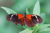 Red black butterfly — Stock Photo