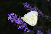 White butterfly sitting on lavender — Stock Photo