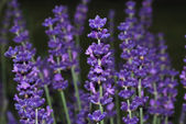 Lavender large view — Stock Photo