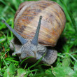 Snail look in camera — Stock Photo