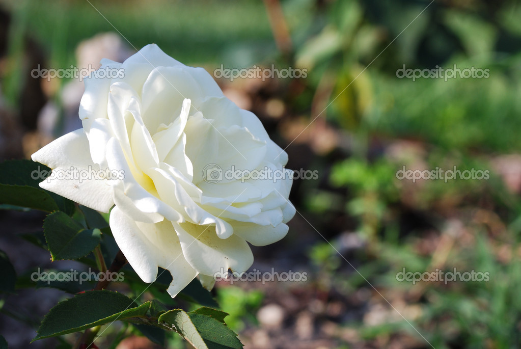 Beautiful white fragrant rose in the spring  Stock Photo #8105562