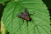 Fly on a leaf — Stock Photo