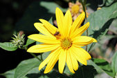 Yellow flower with a fly — Stock Photo