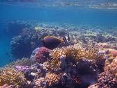 коралл в красном море — Стоковое фото