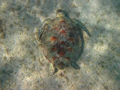 Sea turtle at the ground — Stock Photo