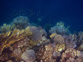 Many colorful coral — Stock Photo