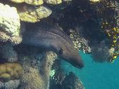 Moray fish — Stock Photo