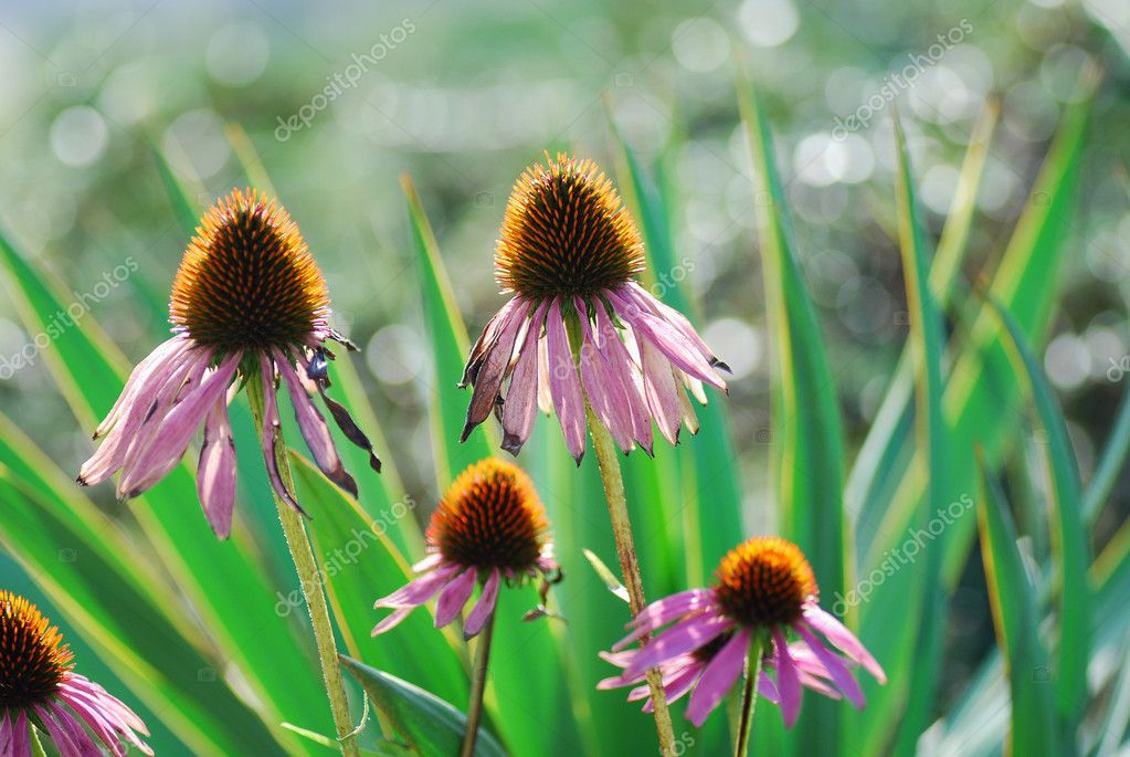 Beautiful colorful spiky flower in summer and garden — Stock Photo #9190941