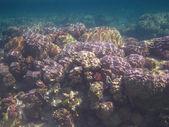 五颜六色的珊瑚埃及 — 图库照片