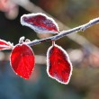 Red leave — Stock Photo