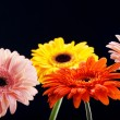 Four gerber flower - Stock Photo