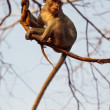 Macaque monkey — Stockfoto #10345884