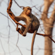 Macaque monkey - Stockfoto