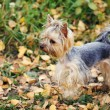Yorkshire terrier - Stok fotoraf