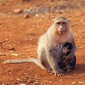 Macaque mother and baby — 图库照片