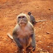 Wild female macaque — Stock Photo