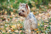 Yorkshire terrier — Stok fotoğraf