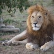 African lion (Panthera leo) — Stock Photo #8403800
