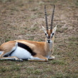 Thomson's gazelle (Gazella thomsonii) — Stock Photo