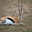 Stock Photo: Thomson's gazelle (Gazella thomsonii)