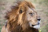 African lion (Panthera leo) — Stock Photo