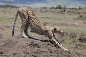 Cheetah (Acinonyx jubatus) — Foto de Stock