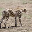 Stock Photo: Cheetah (Acinonyx jubatus)
