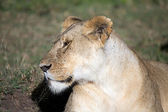 African lioness (Panthera leo) — Stock Photo