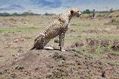 Cheetah (jubatus de Acinonyx) — Foto de Stock