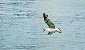 Seagull fishing — Стоковое фото