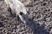 Wild boar is seaking smth — Stock Photo