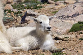 Mountain Goat Kid Bedded — Stock Photo