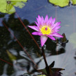 Water Lilly - Stock Photo