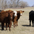 Cattle on Pasture — Photo