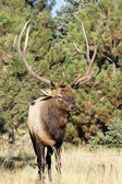 Bull Elk — Stock Photo